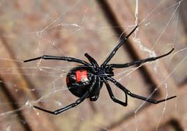 Black Widow Spiders Had A - poisonous spiders in georgia black widow brown recluse