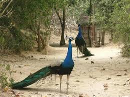merak biru koleksi foto burung merak tercantik