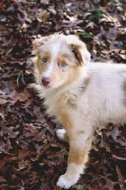 australian shepherd 11 weeks old best 25 merle australian shepherd ideas on pinterest australian