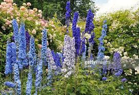 delphinium flowers delphinium stock photos and pictures getty images