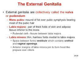 hairless pubis female reproductive system ppt video online download