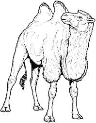 c is for bactria camel coloring pages bulk color