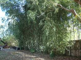great live bamboo fence how to grow a live bamboo fence u2013 design
