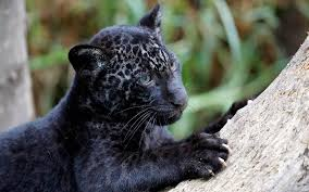 all black jaguar big cats 16 panther cub all black big cats tridanim