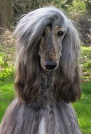 afghan hound breed afghan hound fun animals wiki videos pictures stories