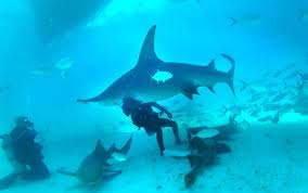diving with hammerhead sharks in bimini is unforgettable orlando