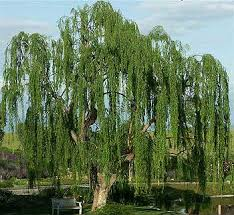 weeping willow flower bed weeping willow