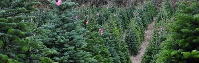 mccoys christmas trees