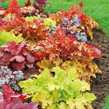 Plant Flower Garden - best 25 heuchera ideas on pinterest coral bells front yard