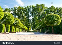 alley topiary green trees hedge on stock photo 369669836