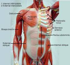 Anatomy And Physiology The Muscular System Muscular System Labeled Anesthesia U0026 Medical Professions
