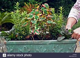 planting a winter container trough step by step using evergreens