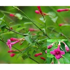 Fragrant Jasmine Plant - 3 4ft large jasminum beesianum climbing red jasmine plant