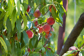 all about fruit trees fossil creek tree farm nursery