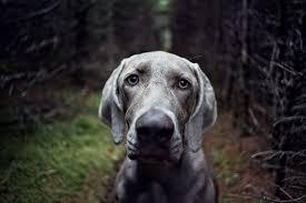 weimaraner vs afghan hound the definitive ranking of dog breeds