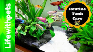 Live Plants In Community Aquariums by Betta Fish Planted Community Tank Care Youtube