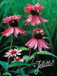 echinacea flower echinacea decker bluestone perennials