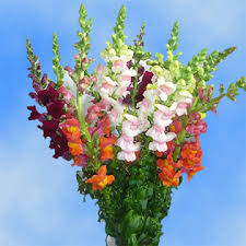 snapdragon flowers snapdragon flowers 24 hours shipping global