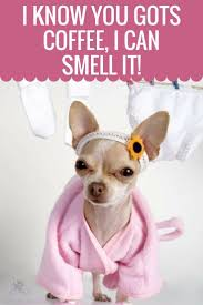 Chihuahua Meme - visit us for everything chihuahua chihuahua humor chihuahua funny