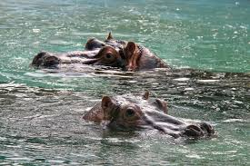 hippopotamus si鑒e social hippopotamus si鑒e social 28 images the oxpecker and the