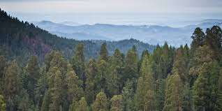 California forest images California 39 s drought has killed over 12 million trees in the last jpg