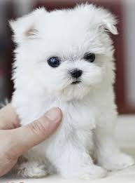 best 25 small hypoallergenic dogs ideas on pinterest cute small