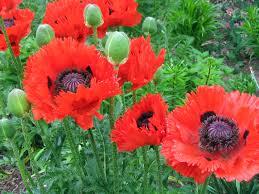 opium poppies can be grown in us gardens marijuana never looks