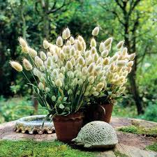 bunny tails ornamental grass seeds