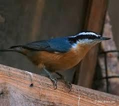 Ohio birds images Northwest ohio birds ohio birds pinterest ohio nuthatches jpg