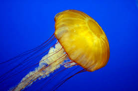 what to do if you are stung by a jellyfish