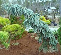 weeping colorado blue spruce the blues 1 year live