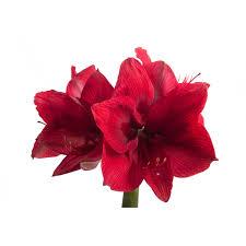 amaryllis flower burgundy amaryllis amaryllis types of flowers flower muse