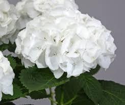 hydrangea white everlasting series of hydrangeas plants nouveau