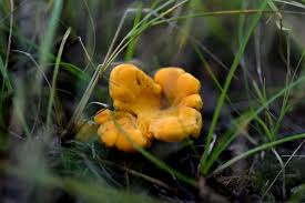 hen of the woods chanterelle mushrooms in mn how to pick and cook