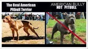 ukc american pitbull terrier real american pit bull terriers pit bulls pits youtube