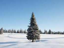 the 5 top christmas tree types and why they u0027re the best huffpost