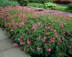 outdoor garden with flowering bleeding plants ornamental