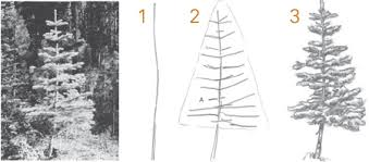 how to draw trees conifers by landscape drawing artist claudia nice