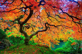 k desktop wallpapers beautiful nature maple beauty autumn