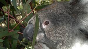 koalas of kangaroo island national geographic