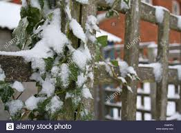 ivy hedera helix snow covered leaves growing on garden trellis