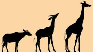 odd creature was ancient ancestor of today u0027s giraffes science aaas