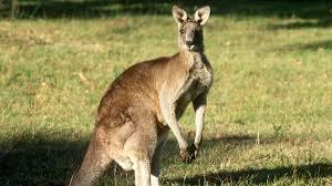 imagenes animales australia el canguro australiano