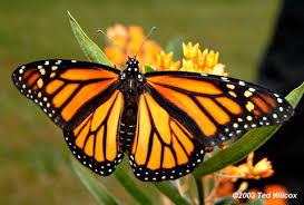 journey monarch butterfly