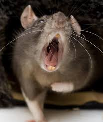 giant rats eat three month old baby alive in johannesburg