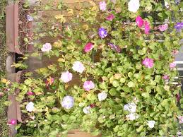 pot growing morning glory can you grow morning glory in a container