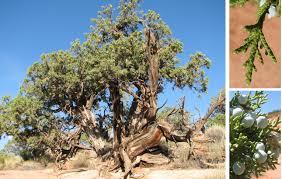 plants native to colorado utah juniper colorado national monument u s national park service