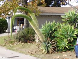 Home Landscaping Ideas by Outdoor U0026 Garden Design Wonderful Agave Attenuata For Landscaping