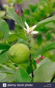 lemon tree citrus limon a lemon and a blossom ornamental plant