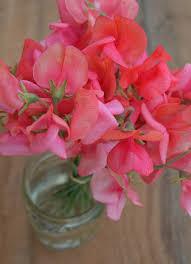 sweet pea flowers uprising organic seeds sweet pea miss wilmott sweet pea flowers